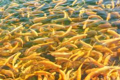 Rainbow trout breed Adler amber in the pond. Numerous Golden fish in clear water. Sunny day. Rainbow trout breed Adler amber in the pond. Numerous Golden fish in stock photography