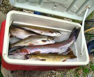 Rainbow trout and Brooke trout fish Stock Photography