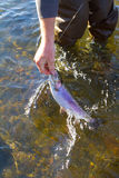 Rainbow Trout Catch Release Royalty Free Stock Photos