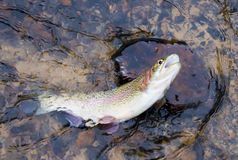 Rainbow trout caught on bait Stock Images