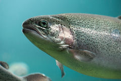 Rainbow trout  close-up  under water Stock Photography