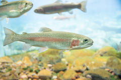 Rainbow trout. Close up view of a rainbow trout swimming royalty free stock photo