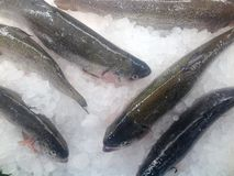 Rainbow trout. Farm raised fresh rainbow trout on the ice in a food store Stock Image