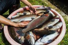 Rainbow Trout Royalty Free Stock Photos