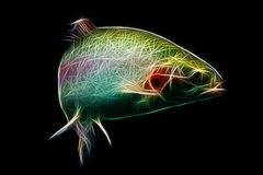 Rainbow Trout Fish Fractal. Adult Trout Fish Isolated On Black Aquarium Shot royalty free stock images
