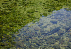 Rainbow trout fish swimming on the pond. A rainbow trout fish swimming on the pond at Japanese garden. Close up stock photos