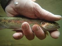 Rainbow Trout with Fisherman`s hands underwater stock photography