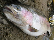 Rainbow trout fishing Royalty Free Stock Images