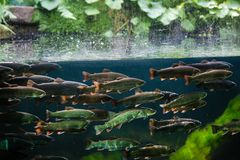 Rainbow trout. Flock of rainbow trout swimming in blue green water seen through aquarium window royalty free stock photography