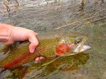 Rainbow Trout, Fly Fishing Royalty Free Stock Images