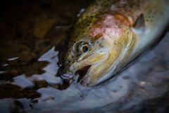 Rainbow Trout. Fly fishing western Pennsylvenia is great for trout stock photo
