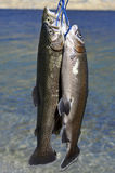 Rainbow trout. Stock Photography