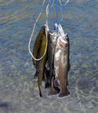 Rainbow trout. Royalty Free Stock Images