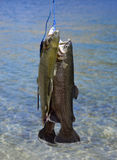 Rainbow trout. Stock Image
