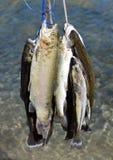 Rainbow trout. Stock Photos