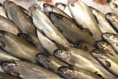 Rainbow trout. Fresh fish river trout, on ice. Rainbow trout. Fresh fish river trout, on ice Stock Image