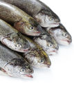 Rainbow trout. Fresh rainbow trouts on white background - food and drink stock photography