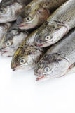 Rainbow trout Royalty Free Stock Image