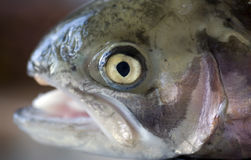Rainbow Trout Head Royalty Free Stock Image