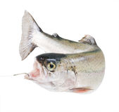Rainbow trout on a hook. On a white background Royalty Free Stock Photos