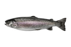 Rainbow trout. Horizontal photo of a wild rainbow trout, in pristine condition isolated on a white background royalty free stock photo