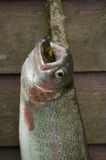 Rainbow trout hung at a wall Stock Images