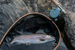 Rainbow trout. In landing net Stock Image