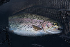 Rainbow trout in landing net. In a clear water Stock Photography