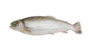 Rainbow trout on a light background. Fresh raw rainbow trout on a light background Royalty Free Stock Photo