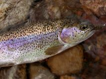 Rainbow Trout Macro Royalty Free Stock Photo