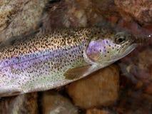 Rainbow Trout Macro royalty free stock photo