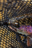 Rainbow trout in net Stock Photo
