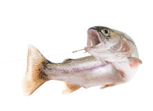 Free Rainbow Trout On A Hook Royalty Free Stock Photo - 23268265