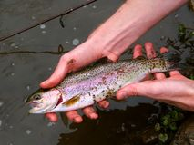 Rainbow Trout (Oncorhynchus mykiss) Stock Image