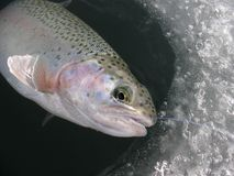 Rainbow trout Oncorhynchus mykiss ice fishing Royalty Free Stock Image