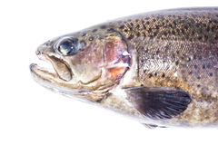 Rainbow trout (Oncorhynchus mykiss) male, isolated on a white Stock Photos