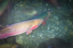 Close up image of New Zealand Rainbow Trout in freshwater. The rainbow trout Oncorhynchus mykiss is a trout and species of salmonid native to cold-water royalty free stock images