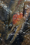 Rainbow trout portrait Stock Photos