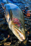 Rainbow trout portrait Royalty Free Stock Photo