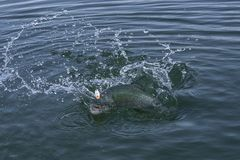 Rainbow trout salmon fish in water with splashing. Area fishing.  stock images