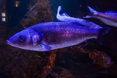 Rainbow trout or Salmon trout - Oncorhynchus mykiss, close-up in aquarium stock photos