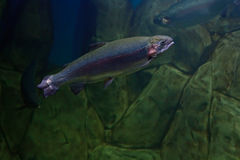 Rainbow trout or Salmon trout. Close-up underwater Stock Images