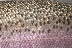 Rainbow trout skin scales, detail Stock Photography