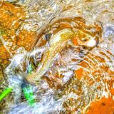 Rainbow trout in a stream stock image