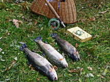 Rainbow trout trophy on fly fishing royalty free stock photos
