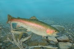 Rainbow Trout Underwater royalty free stock image