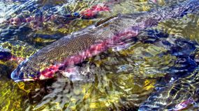 Rainbow Trout. Was introduced to the mountain streams of Western North Carolina due to the decline of the Brook Trout. They tend to handout in faster water stock image