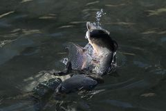 Rainbow trout on water. Rainbow trout swimming in clear water Royalty Free Stock Photo