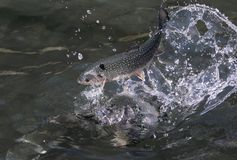 Rainbow trout on water royalty free stock image