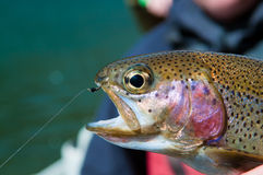 Rainbow trout with zebra midge Stock Photo